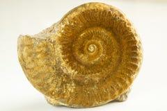 Ammonites του καφετιού χρώματος στο άσπρο υπόβαθρο στοκ φωτογραφίες