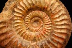 Ammonites. Ammonite (Grammoceras sp.) from the Jurassic of France Stock Photo