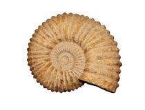 ammonites Arkivfoton