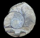 Ammonites Images libres de droits