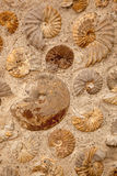 Ammonites. A background texture of ammonite fossils embedded in rock Stock Image
