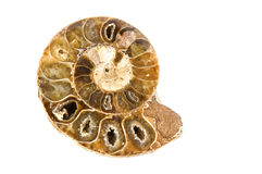 Ammonites Royalty Free Stock Photos