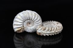 Ammonites blanches Photo stock