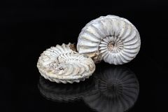 Ammonites blanches Photo libre de droits