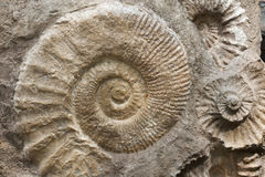 Ammonites from the Cretaceous Period found as fossils. Scaphites from the family of heteromorph ammonites widespread during the Cretaceous Period found as royalty free stock photos