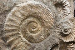 Ammonites de la période crétacée trouvée comme fossiles Photos libres de droits