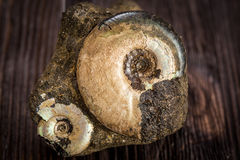 Ammonites de variété - fossile Photo stock
