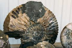 Ammonites fossil shell large spiral - extinct subclass of cephalopod mollusks Stock Image