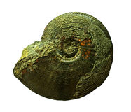 Ammonites fossil  on a whte background Stock Photography