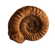 Ammonites fossil  on the whte background Stock Photos