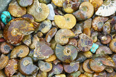 Ammonites fossiles Image stock