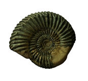 The Ammonites fossiles  on  whte background Stock Photo