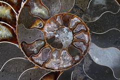 Ammonites occurred in hundreds of species and varieties Stock Photos