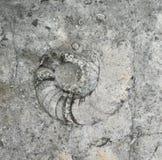 Ammonitfossil Lizenzfreie Stockfotos