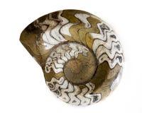 Ammonitfossil lizenzfreies stockfoto