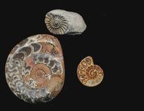 Ammonitfossil stockfotos
