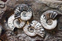 Ammonitfossil lizenzfreies stockbild
