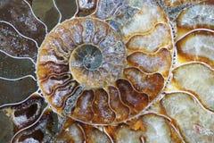 Ammonitfossilbeschaffenheit stockfoto