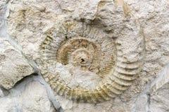 Ammonitfossilet i väggen Arkivbilder