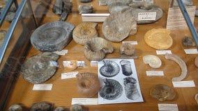 Ammoniti fossili del museo fotografie stock libere da diritti