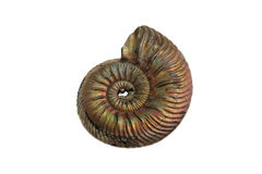 Ammonium. Ancient fossil of the Jurassic ammonite Stock Photography