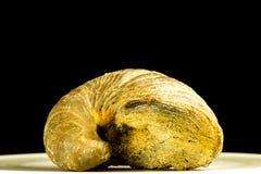 Ammonoïde, plan rapproché du fossile Photos stock