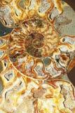 Ammonoid stockfoto