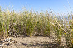 Ammophila - συγκεκριμένη χλόη στους αμμόλοφους άμμου Στοκ Φωτογραφίες