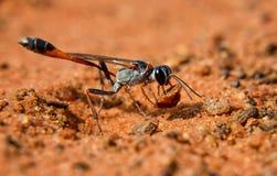 Ammophila黄蜂 库存图片