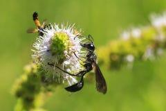 Ammophila sabulosa skrzyknący piasek osy karmienie na bielu Fotografia Stock