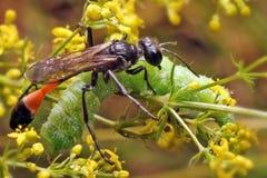 Ammophila - vespa delgada com asas transparentes foto de stock royalty free