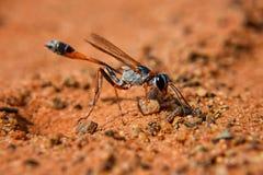 Ammophila Wasp Stock Images