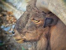 Ammotragus Lervia Стоковая Фотография RF
