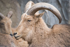 Ammotragus lervia or barbary sheep at zoo Stock Images