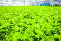Ammount énorme de salade - aliment biologique Image libre de droits