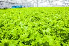 Ammount énorme de salade - aliment biologique Photo libre de droits