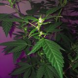 Amnésie Haze Cannabis Flowering Photographie stock libre de droits