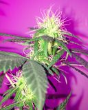 Amnésie Haze Cannabis Flowering Images stock