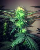Amnésie Haze Flowering Cannabis Photo libre de droits