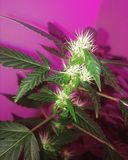 Amnésie Haze Flowering Cannabis Image libre de droits