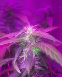 Amnesia floreciente Haze Cannabis Plant fotografía de archivo libre de regalías