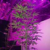 Amnesia Haze Cannabis Flowering fotografía de archivo libre de regalías