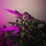 Amnesia Haze Cannabis Flowering imagen de archivo libre de regalías