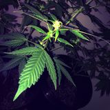 Amnesia Haze Cannabis Flowering Immagini Stock Libere da Diritti