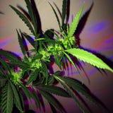 Amnesia Haze Cannabis Flowering Fotografia Stock