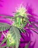 Amnesia Haze Cannabis Flowering imagenes de archivo