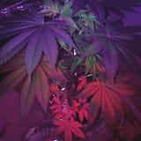 Amnesia Haze Female Plant Immagini Stock