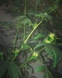 Amnesia Haze Flowering Cannabis imágenes de archivo libres de regalías