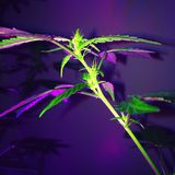 Amnesie Haze Cannabis Flowering Royalty-vrije Stock Fotografie