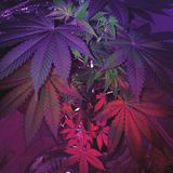 Amnesie Haze Female Plant Stockbilder